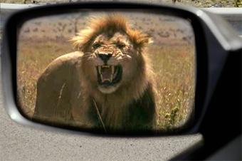 В Огайо на водителей напал лев