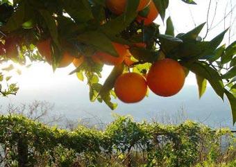 Испанцы будут делать автомобильное топливо из апельсинов