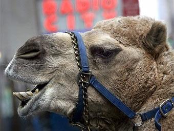 Верблюды парализовали движение в австрийском городе