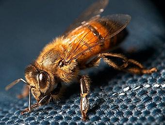 12 миллионов пчел парализовали движение в Калифорнии