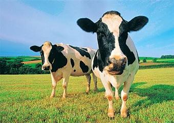 Американские коровы перевернули грузовик