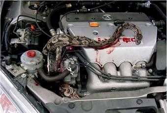 Водителя арестовали за использование змеи для охраны машины