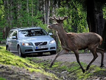 Volvo научит автомобили останавливаться перед оленями