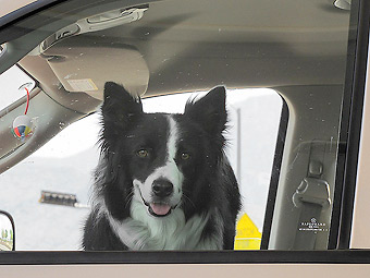 Собаки-угонщики попытались скрыться с места ДТП