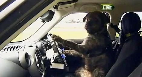Животных научили управлять машиной за два месяца