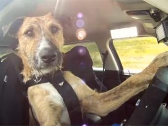 Новозеландские собаки сдали экзамены по вождению
