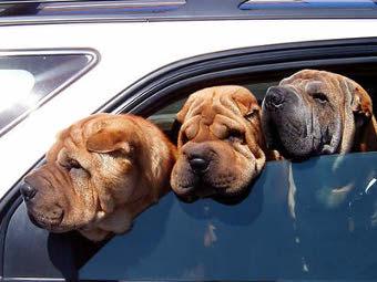 Американцы выбрали лучшие автомобили для собак