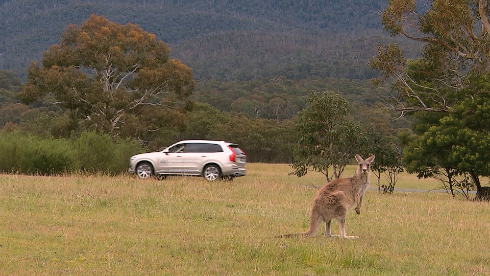 Volvo научит автомобили тормозить перед кенгуру