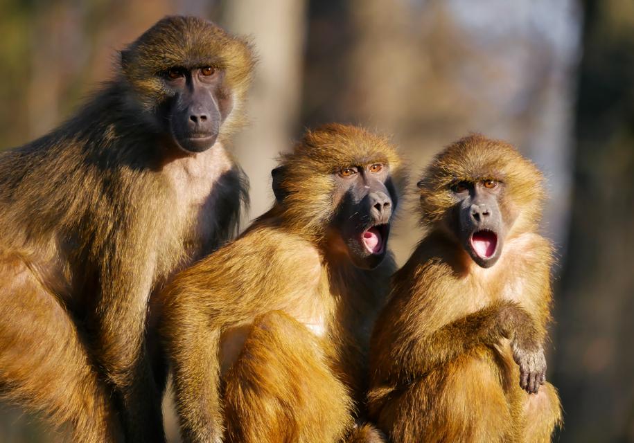 Volkswagen заставлял обезьян дышать выхлопами дизельных машин